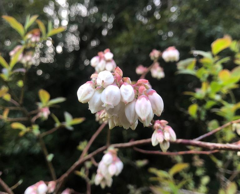 ~ ブルーベリーの花 ~